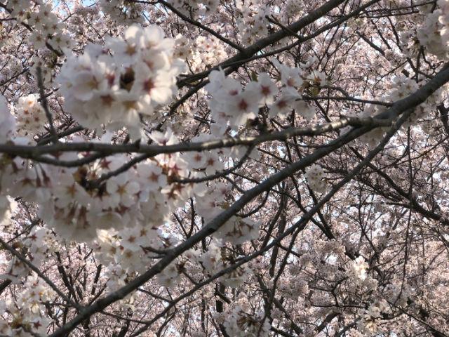 職人撮影_桜