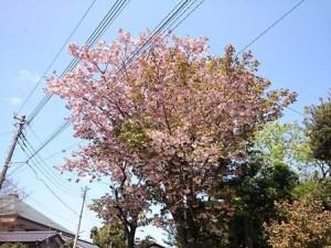 シャインのお店前にて八重桜?